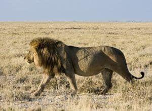 caracteristicas del leon africano
