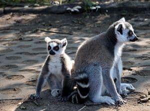 que come el lemur