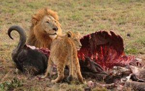 que come el leon africano