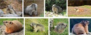 marmota reproduccion