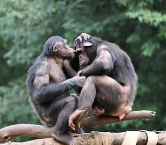 reproduccion del mono bonobo