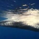 La Ballena Azul el animal mas grande del planeta