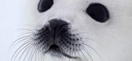 Hermosa foca aun con pelaje Blanco