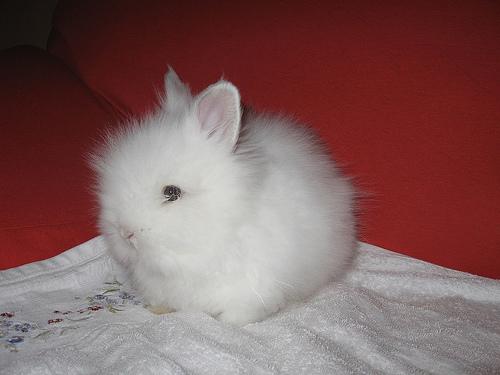 lo-mejor-para-el-conejo-angora-enano_ldi2v