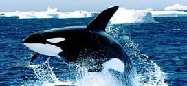 La ballena: datos curiosos de este gran animal