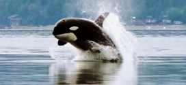 10 cosas que seguro no sabes sobre las orcas
