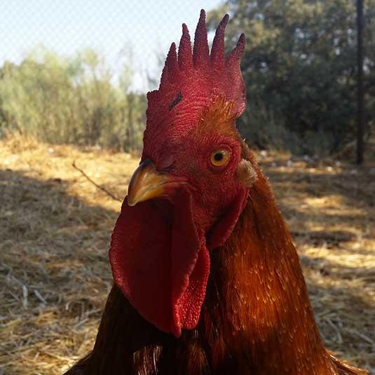 Primer plano de un gallo