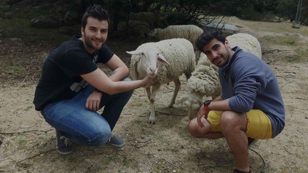 Veterinarios con ovejas