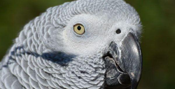 Imagen yacos en el CITES