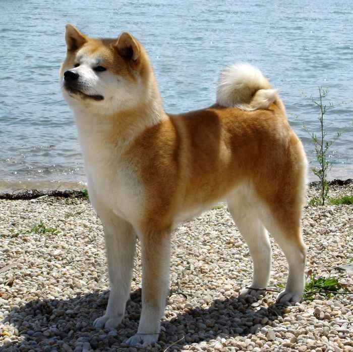 Hermosas imgenes de perros de razas asiaticas