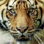 Tigres Bengalas