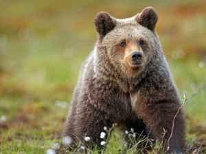 mitos sobre osos