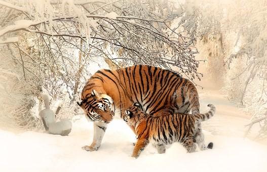 tigres con nieve
