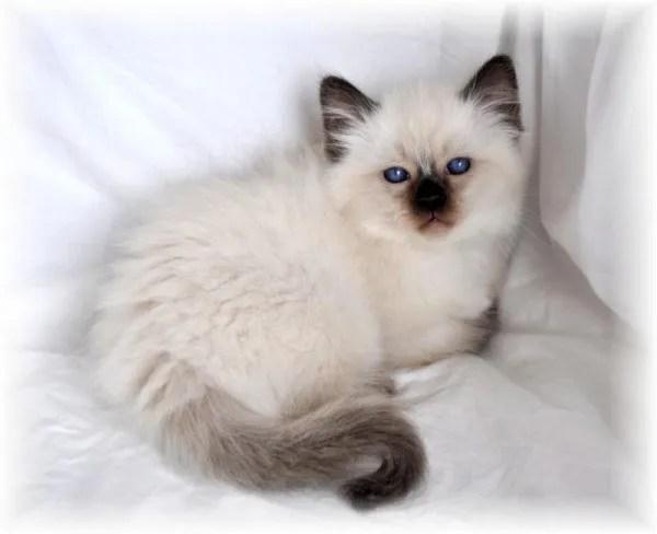 Cute Siamese Kittens Wallpaper Gato Balin 233 S Cuidados Caracter 237 Sticas Fotos Y Precio