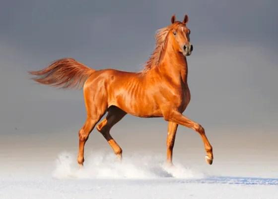 Cmo son los caballos rabes  AnimalesMascotas