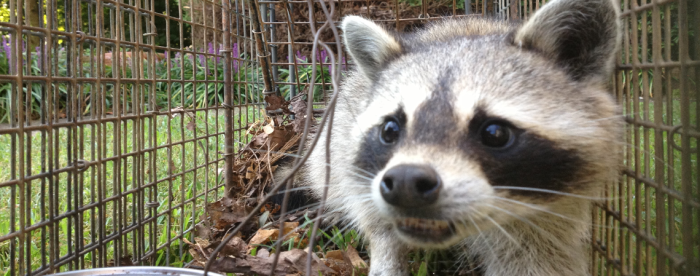 A Raccoon in a humane cage trap.