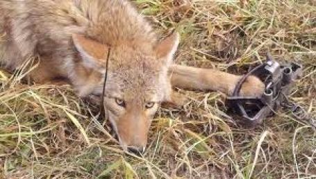 A coyote in a trap.