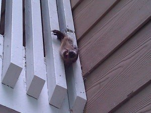 woodchuck in railing
