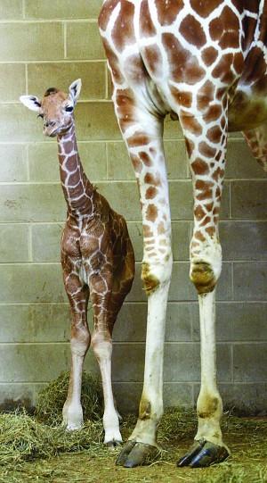 How Tall Is A Newborn Giraffe : newborn, giraffe, Giraffe, Niabi, Animal, Guide