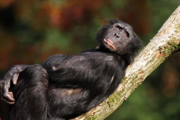 Bonobo Facts  Pygmy Chimpanzee  Chimps  Endangered Animals