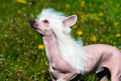 Chinese Crested dogs are funny with mainly fur covering the top of their head and neck.