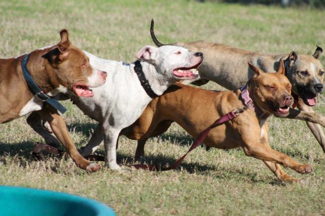 pit bull play group