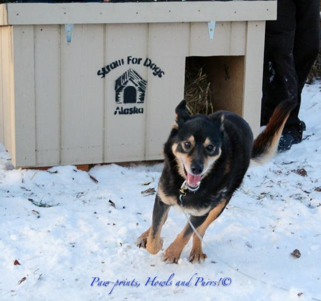 Grease has been an outreach client since 2014, after retiring from a sled dog team. He finished the Iditarod five times! Grease has upgraded to a heavy duty wooden house and lightweight cable run provided by Straw For Dogs. Volunteers returned to maintain and fix the run after wear and tear, thanks to a grant from Animal Farm Foundation.