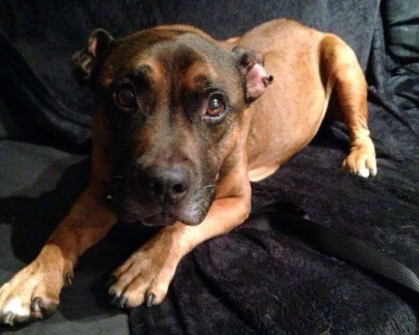 Montreal SPCA Discusses the City's New BSL and What It Means