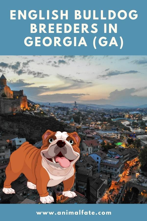 Georgia Bulldog Puppies : georgia, bulldog, puppies, English, Bulldog, Breeders, Georgia, Puppies, AnimalFate