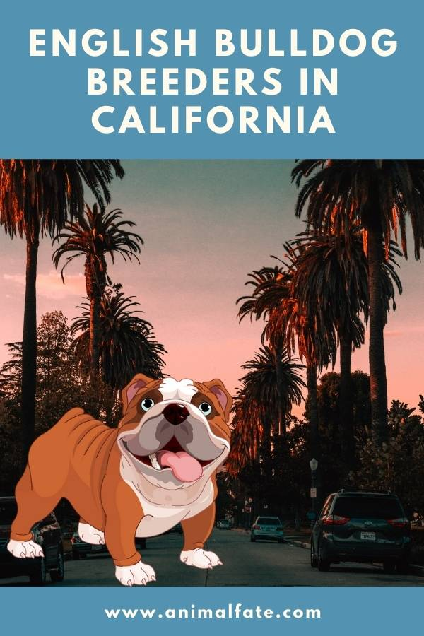 Bulldogs For Sale In California : bulldogs, california, English, Bulldog, Breeders, California, Puppies, AnimalFate