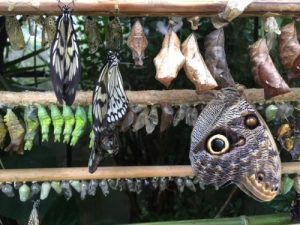 Close up of butterflies pupae
