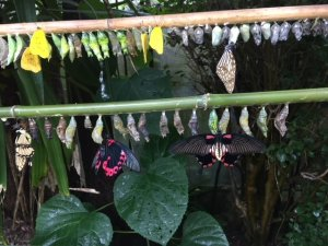 Photograph of butterflies emerging from their pupae