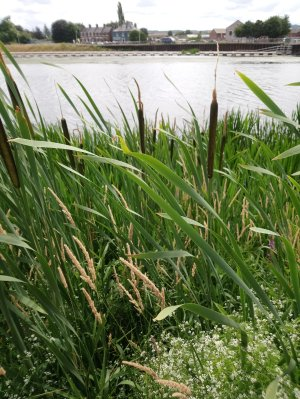 Photo of rushes at the river Exe, Exeter Quay