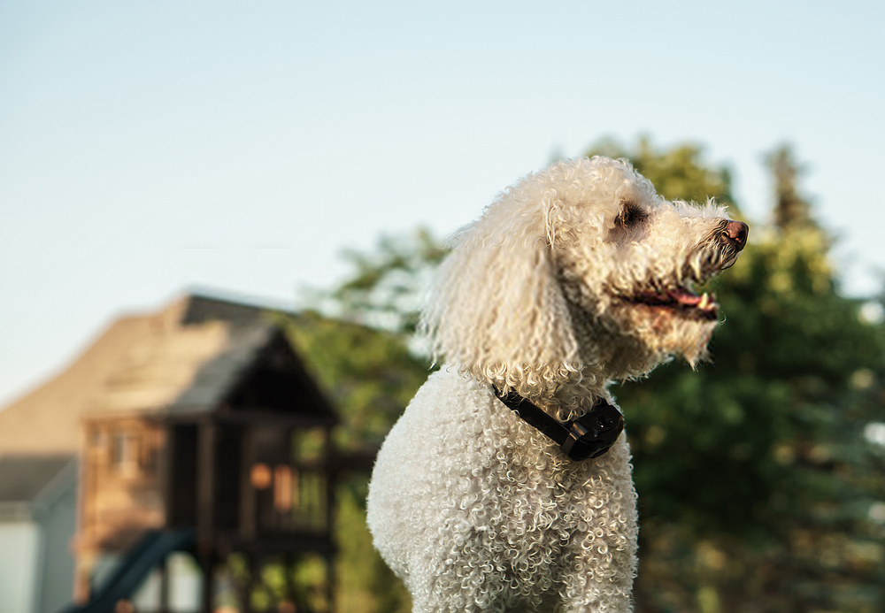 Dogs Shock Collar -A Detailed Guide On Canines Collar