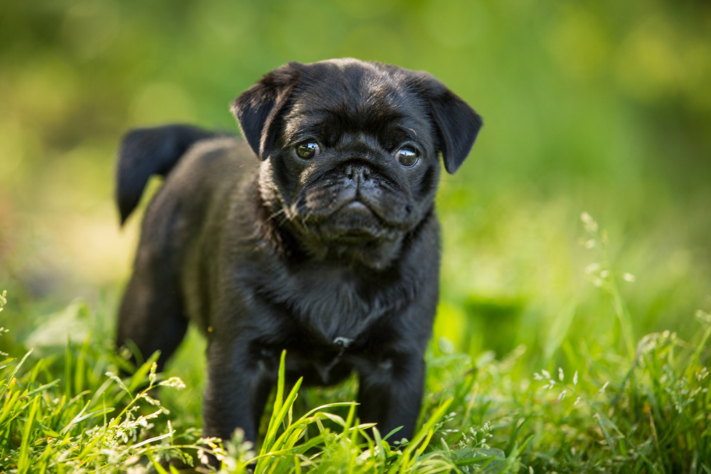 Top 10 Facts About Black Pug Puppies You Should know