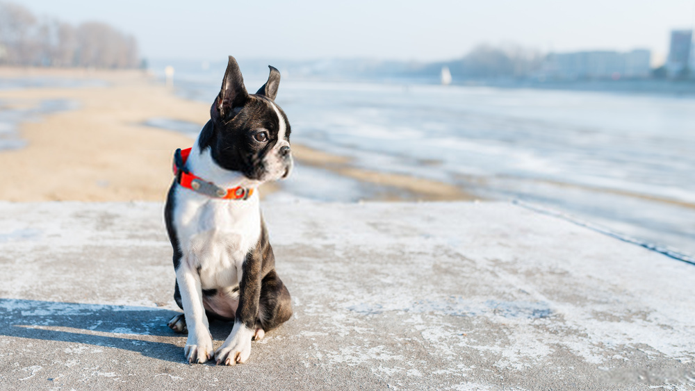 Baby Boston Terrier   Detailed Research On Dog Breed