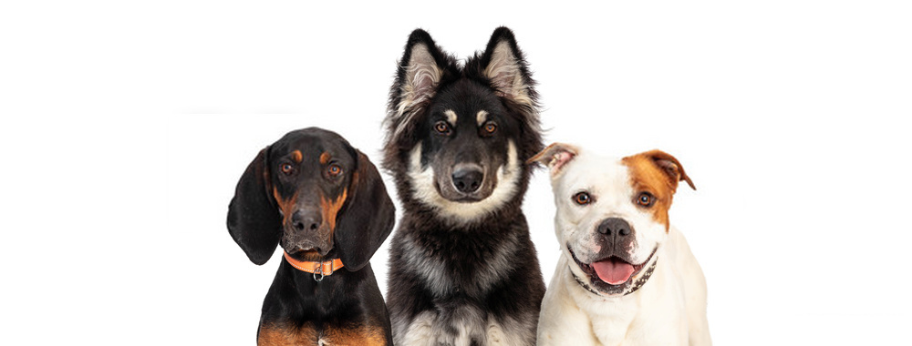 Who Are Herding Dogs And From Where This Breed Came To Us