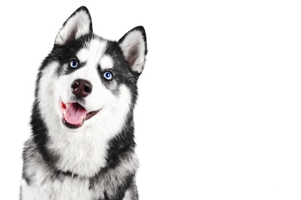 White Husky Dogs