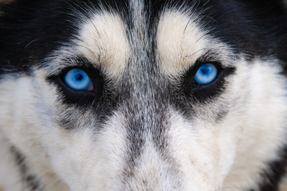 White Husky Blue Eyes