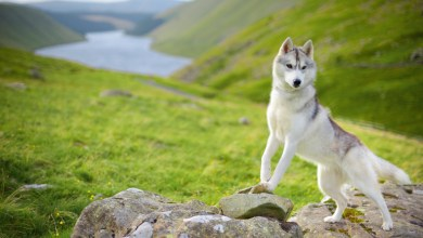 White Husky Female-Info and Important Facts You Should know About