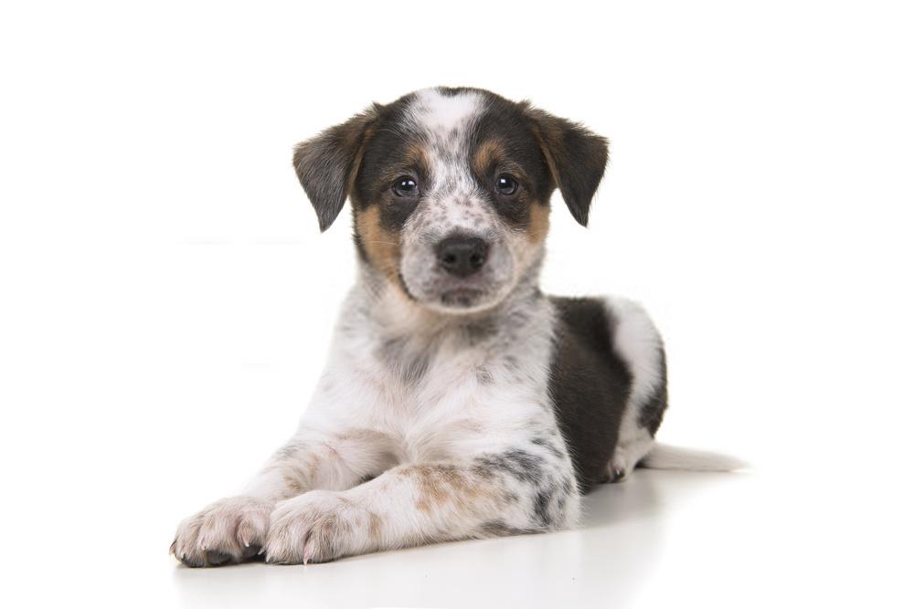 https://stock.adobe.com/images/cute-australian-shepherd-australian-cattle-dog-mix-puppy-lying-down/194106574