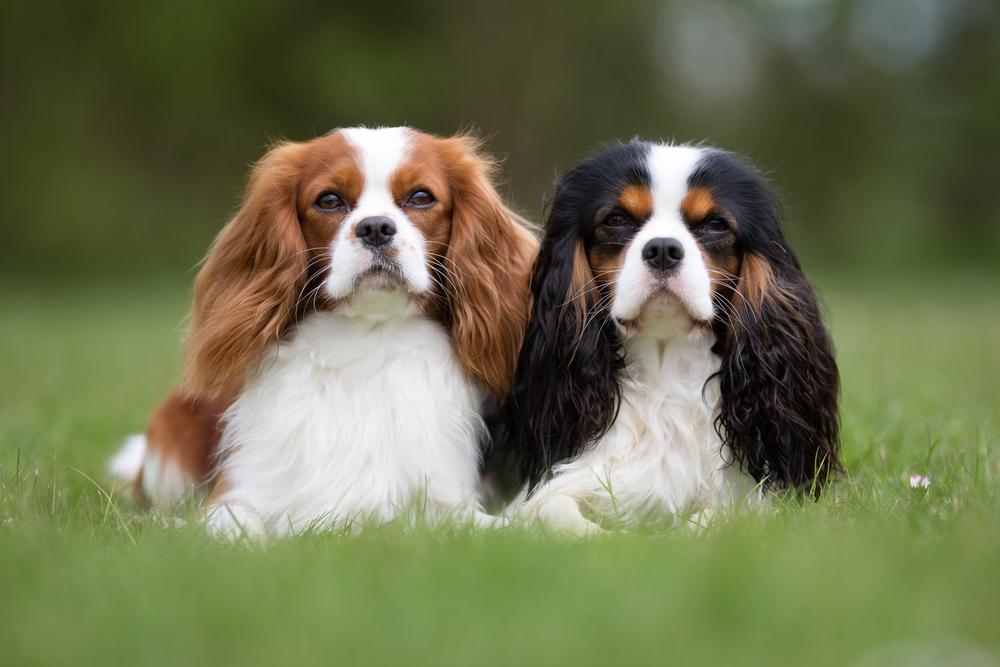King Charles Spaniel Dog Breed