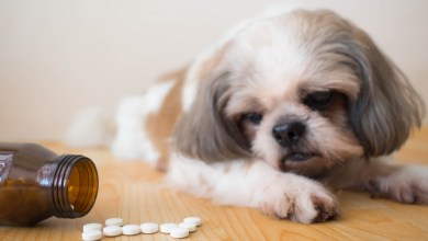Dogs-Pain Medication