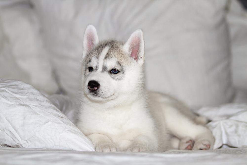 How to Take Care of a Siberian Husky Dog