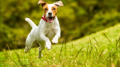 How fast a dog can run?