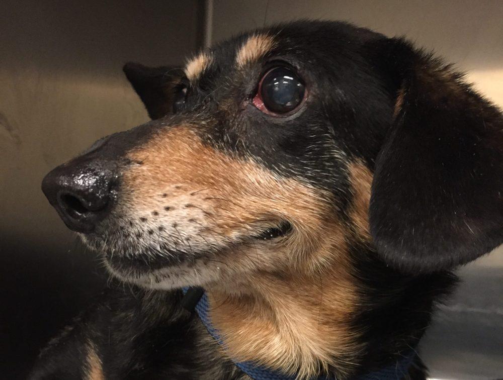 medium resolution of nikki the adorable rescue dachshund part two