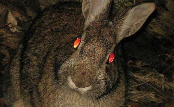 Image result for rabbit eyes at night