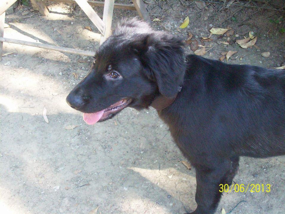 Livorno splendido cucciolo simil labrador nero