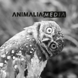 Animalia-median mainostamiseen sosiaalisessa mediassa käytetty kuva, jossa on päätään kääntävä pöllö.