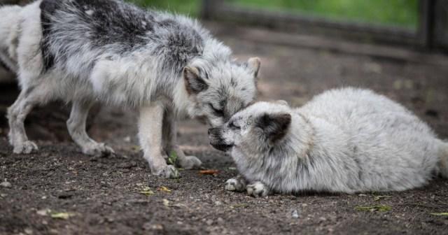 Kaksi turksitarhalta pelastettu kettua seurustelee eläinten turvakodissa.